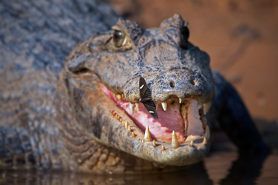 Yacare Caiman Stock Photo & More Pictures of Alligator ...