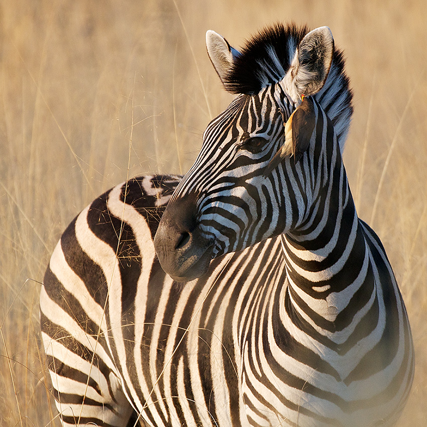african oxpecker and zebra symbiotic relationship
