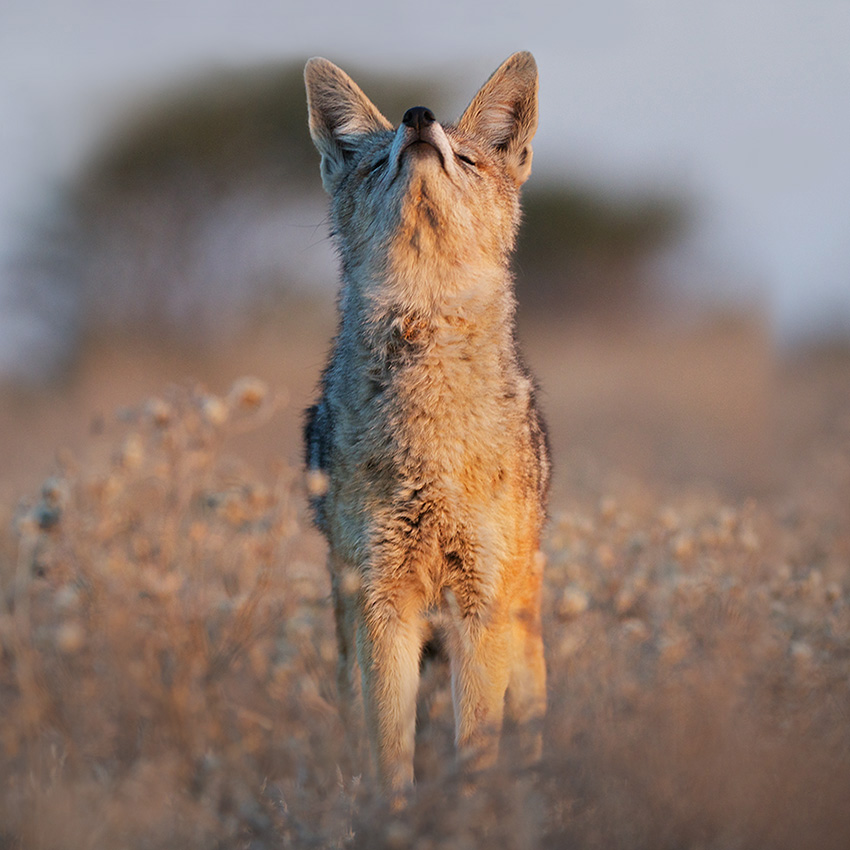 jackal_sniff_2 - Smell the morning air. Ah, life is beautiful' - Photos Unlimited