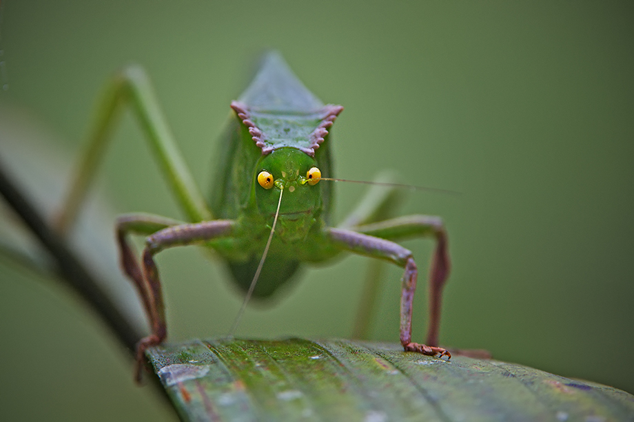 Giant Green Leaf Insect | Sean Crane Photography