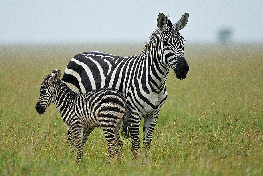 Zebra baby and mother - photo#4