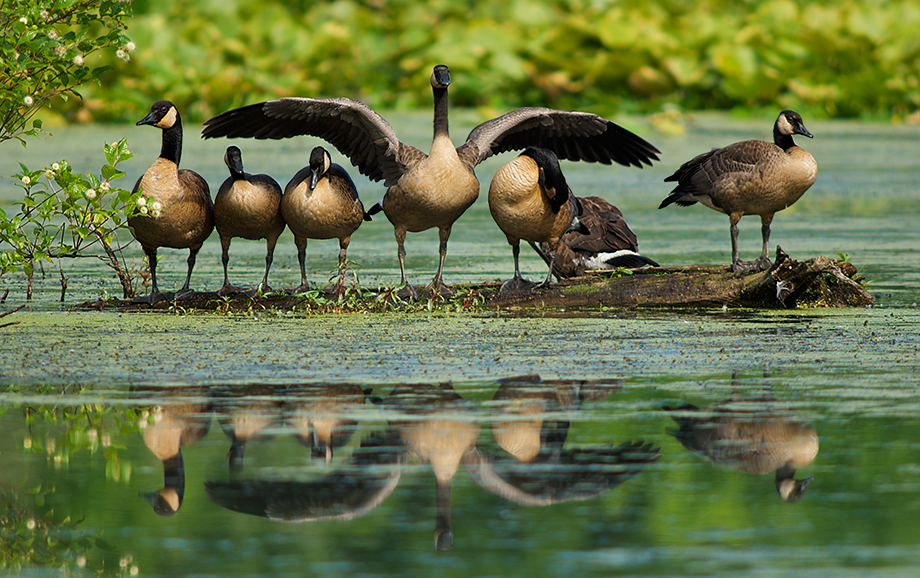 Canada Geese, Muscatatuck National Wildlife Refuge, Indiana
