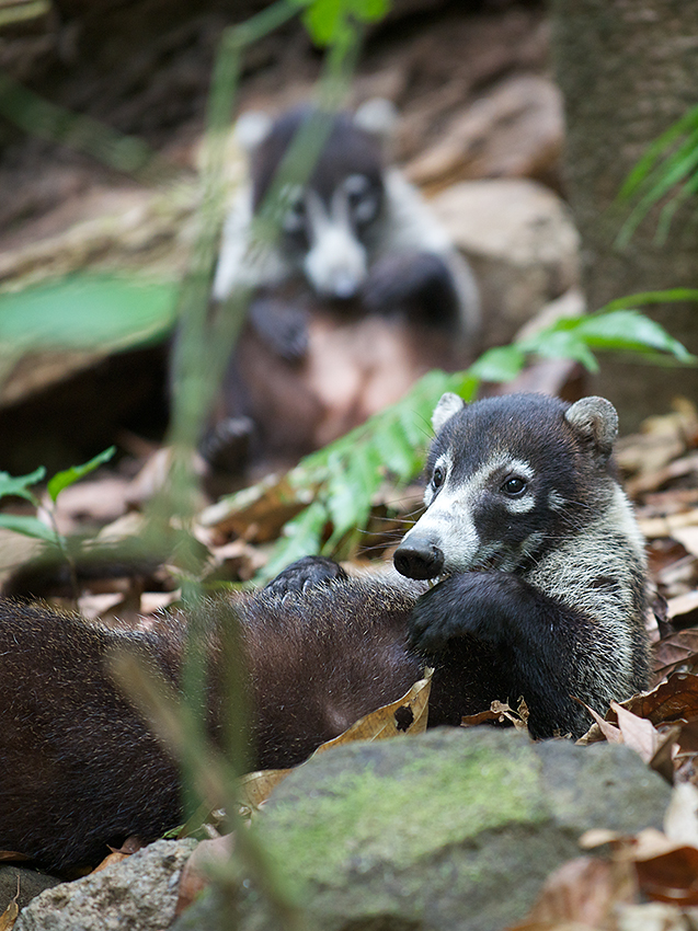 Coati Rubbing Belly, Corcovado National Park, Costa Rica