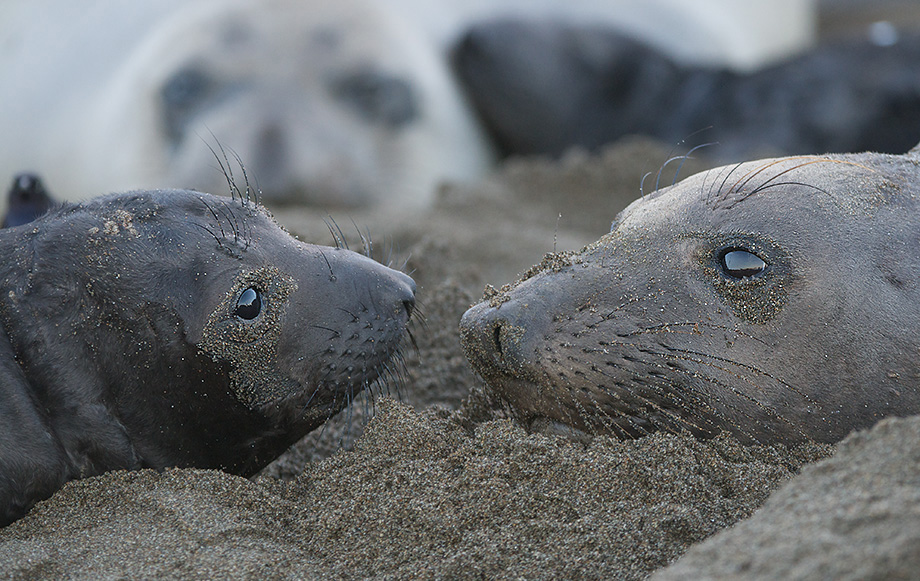 Elephant Seal Nursery, Central California Coast