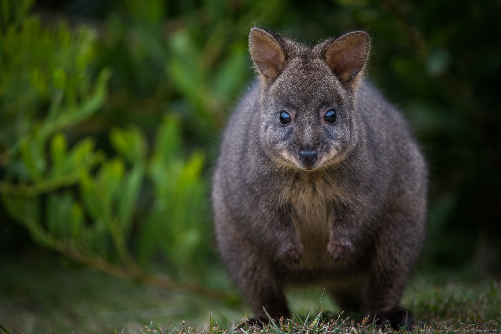 Tasmanian Pademelon Sean Crane Photography