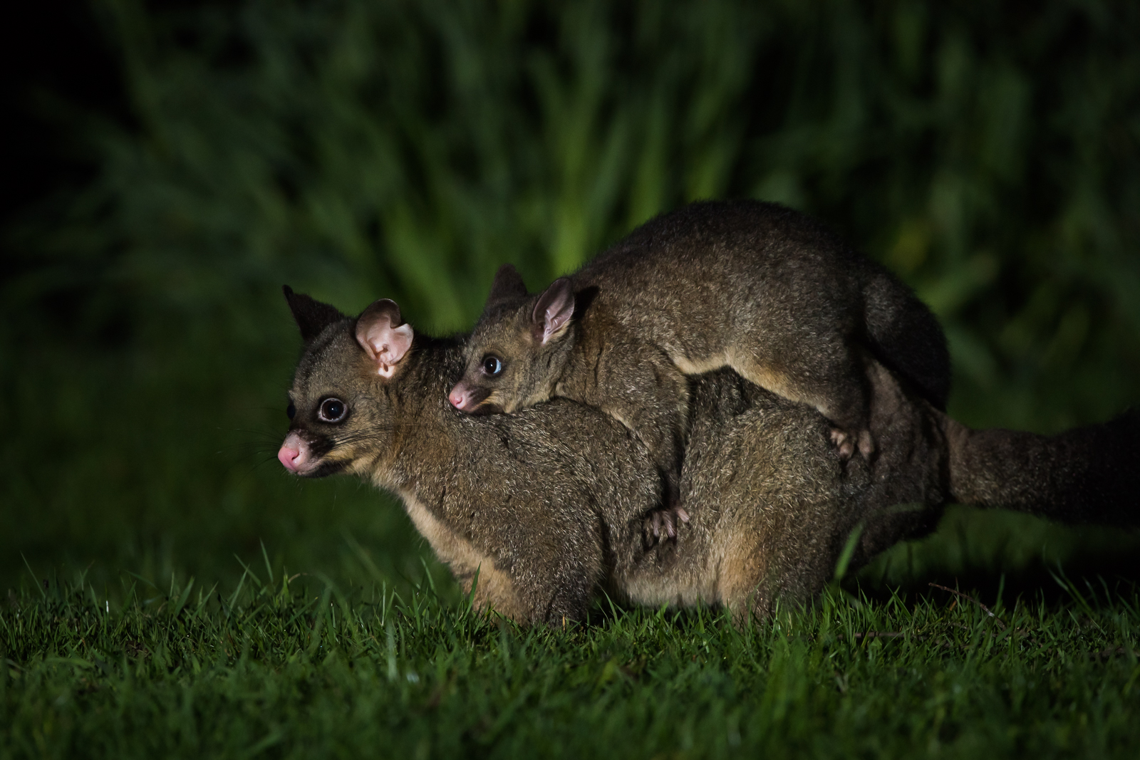 common brushtail possum with joey