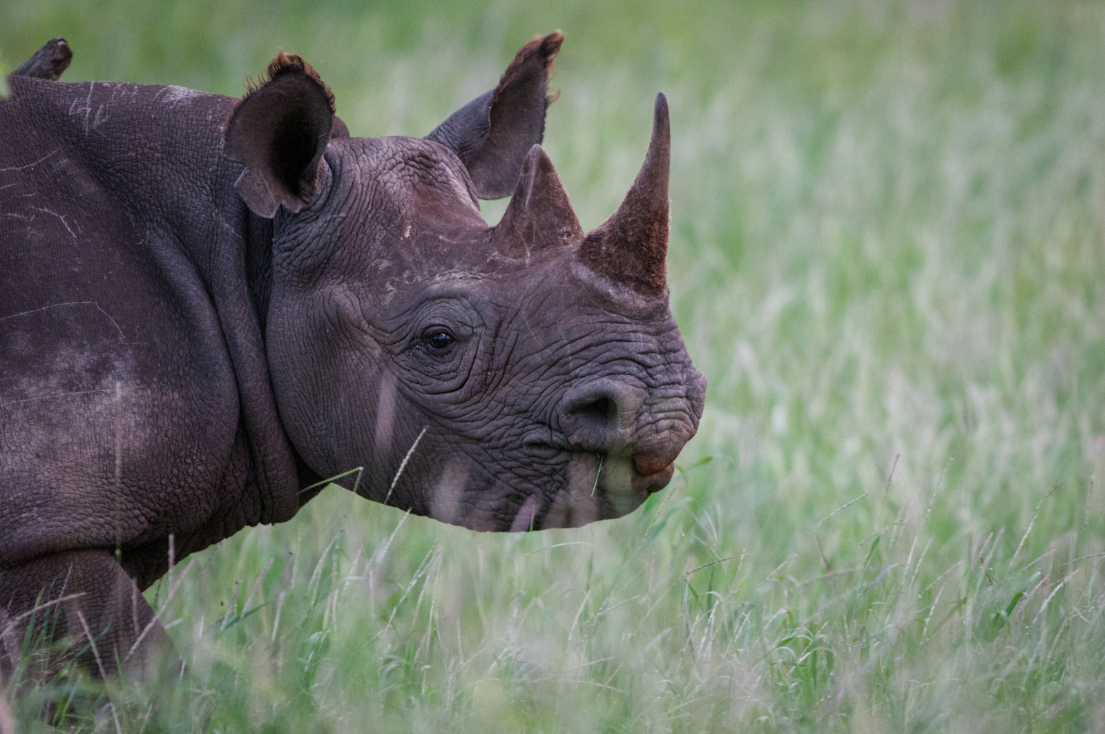 heterozygosity within white and black rhino The black rhino range expansion project aims to increase numbers and growth rate of the critically endangered black rhino it does this through facilitating partnerships between landowners with good black rhino habitat.
