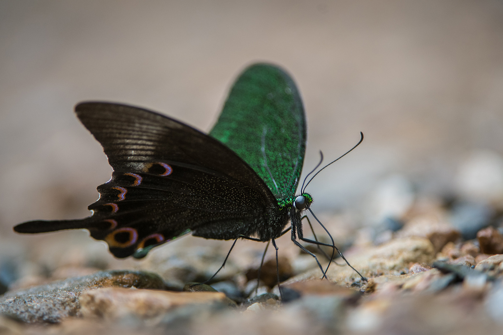 Paris Peacock Butterfly, Kaeng Krachan National Park, Thailand