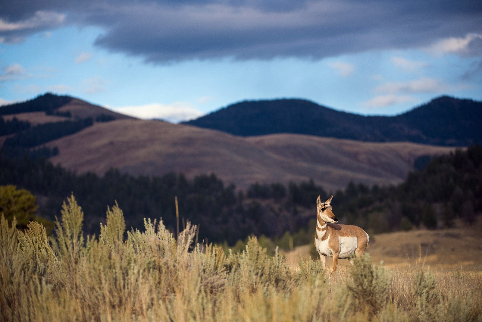 Pronghorn, Yellowstone National Park, Wyoming