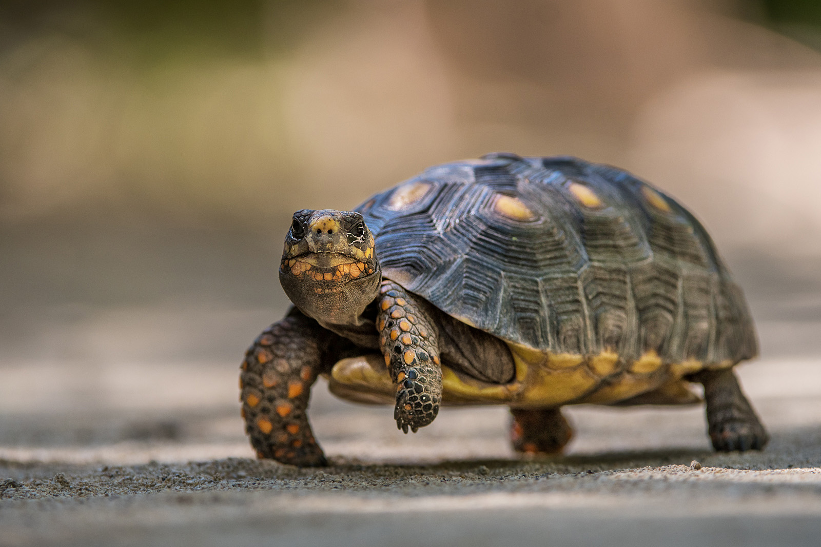 Red-Footed Tortoise, Saint Barthelemy