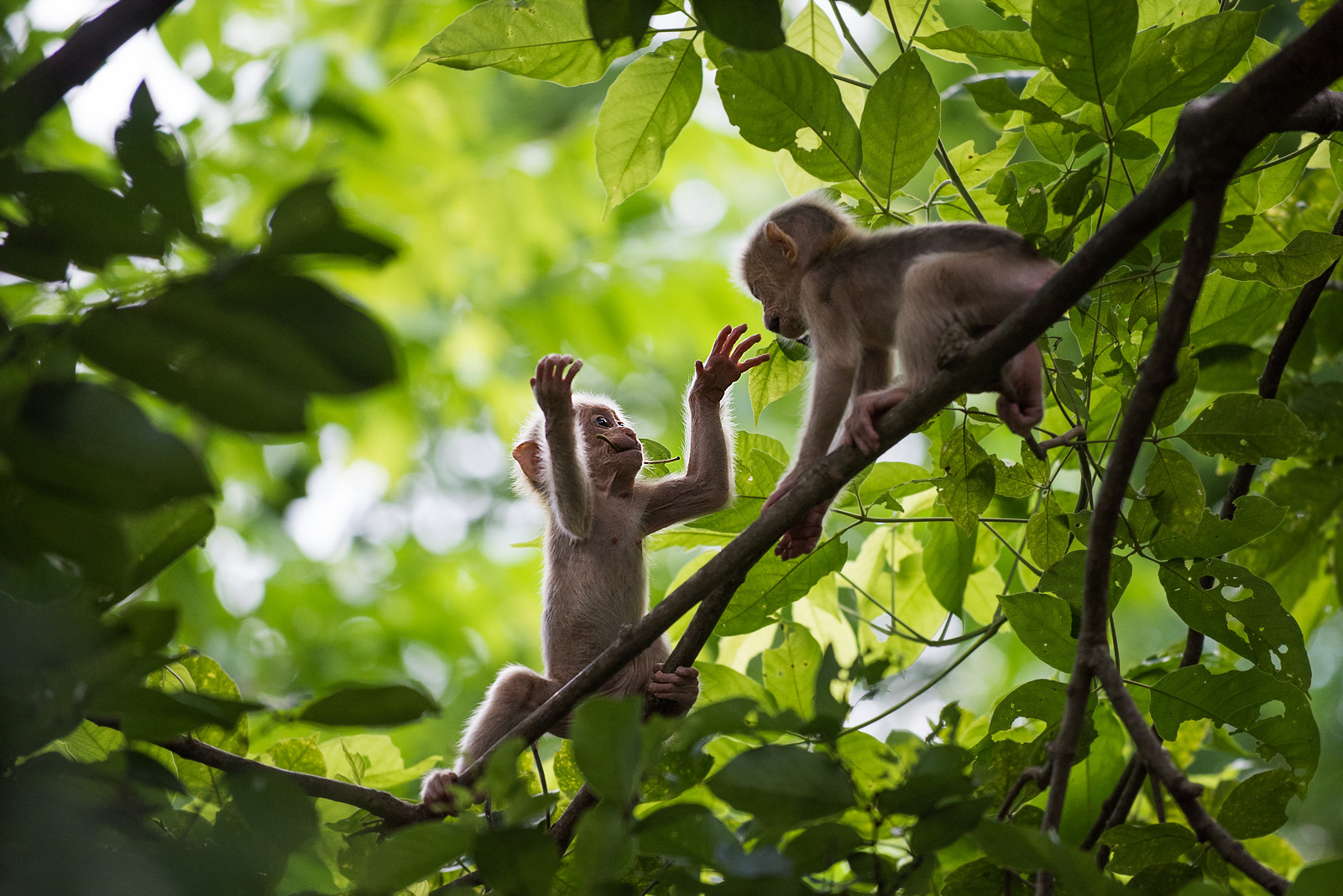 Stump Tailed Macaques, Malay Peninsula, Thailand