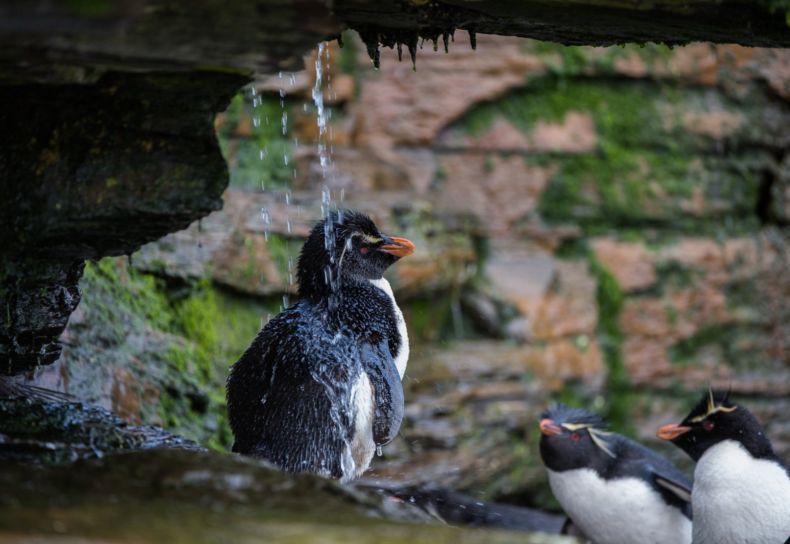 Rockhopper Shower, Saunders Island, Falkland Islands