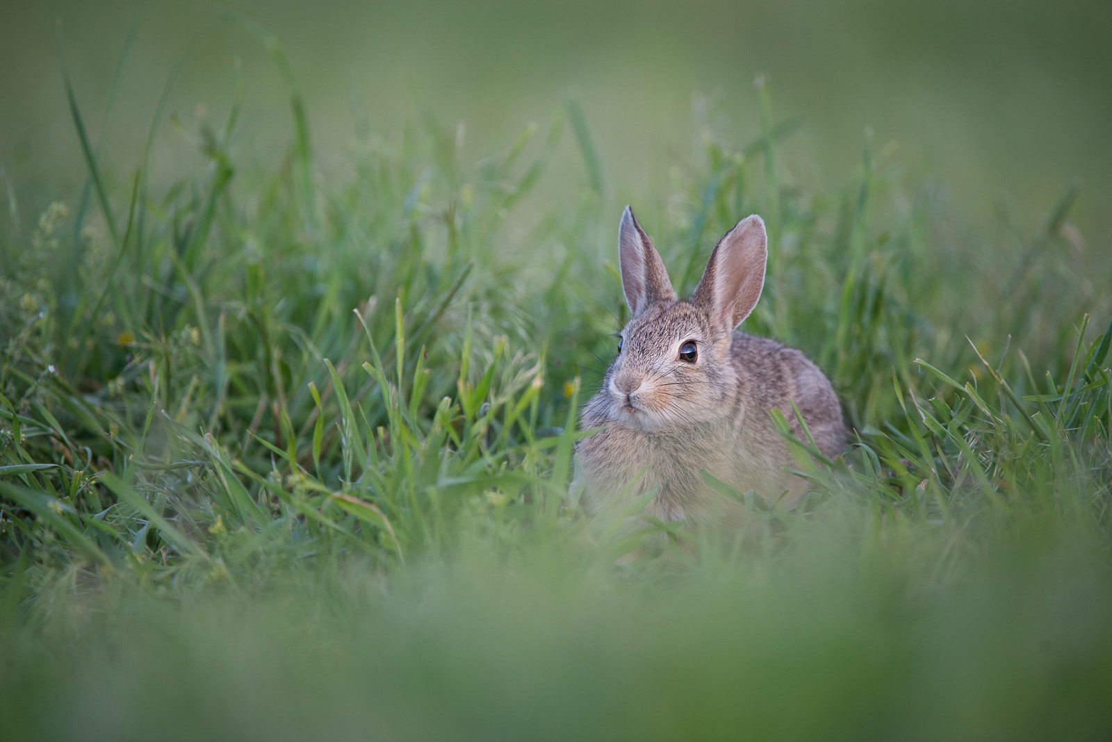 Cottontail, Wind Cave National Park, South Dakota