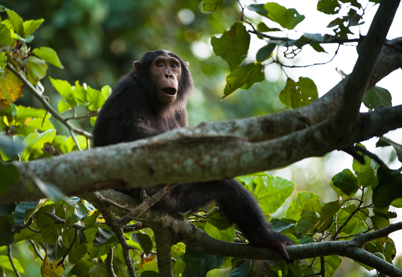 Chimpanzee, Queen Elizabeth National Park, Uganda