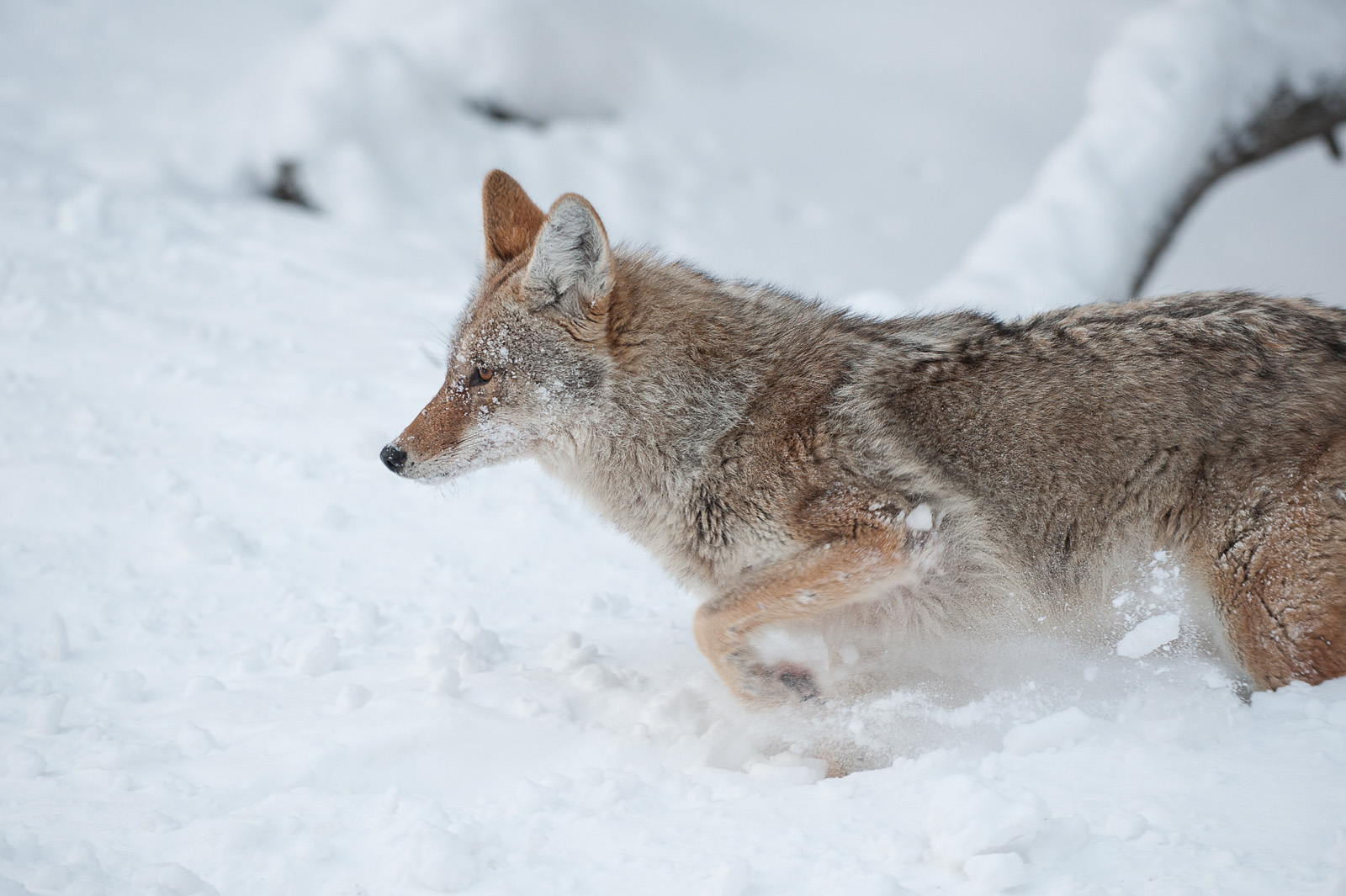 Coyote, Yellowstone National Park, Wyoming