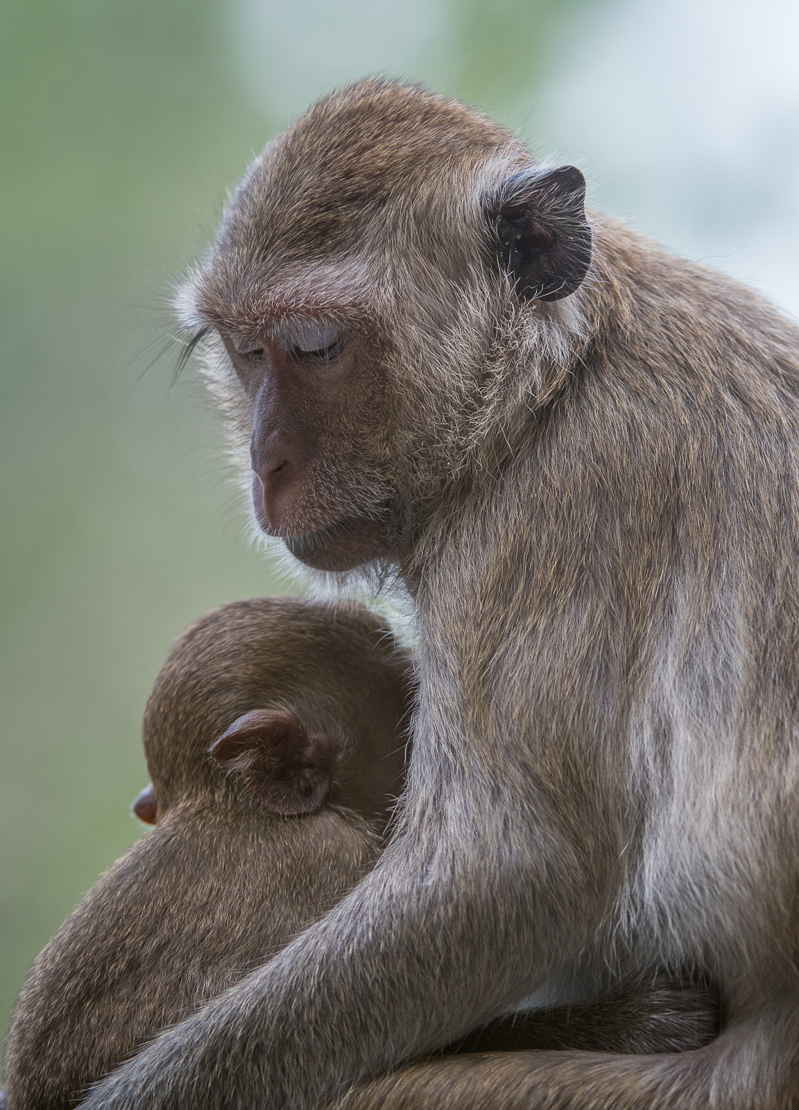 long_tailed_macaque_12.jpg