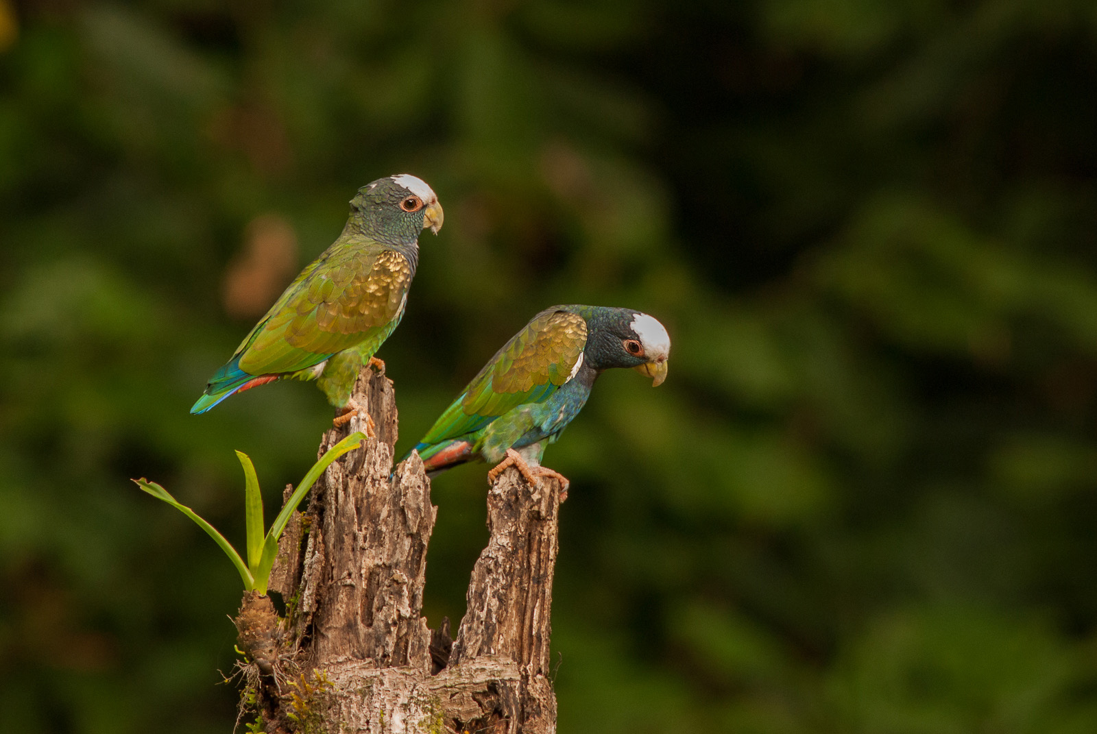 white_crowned_parrots_1.jpg