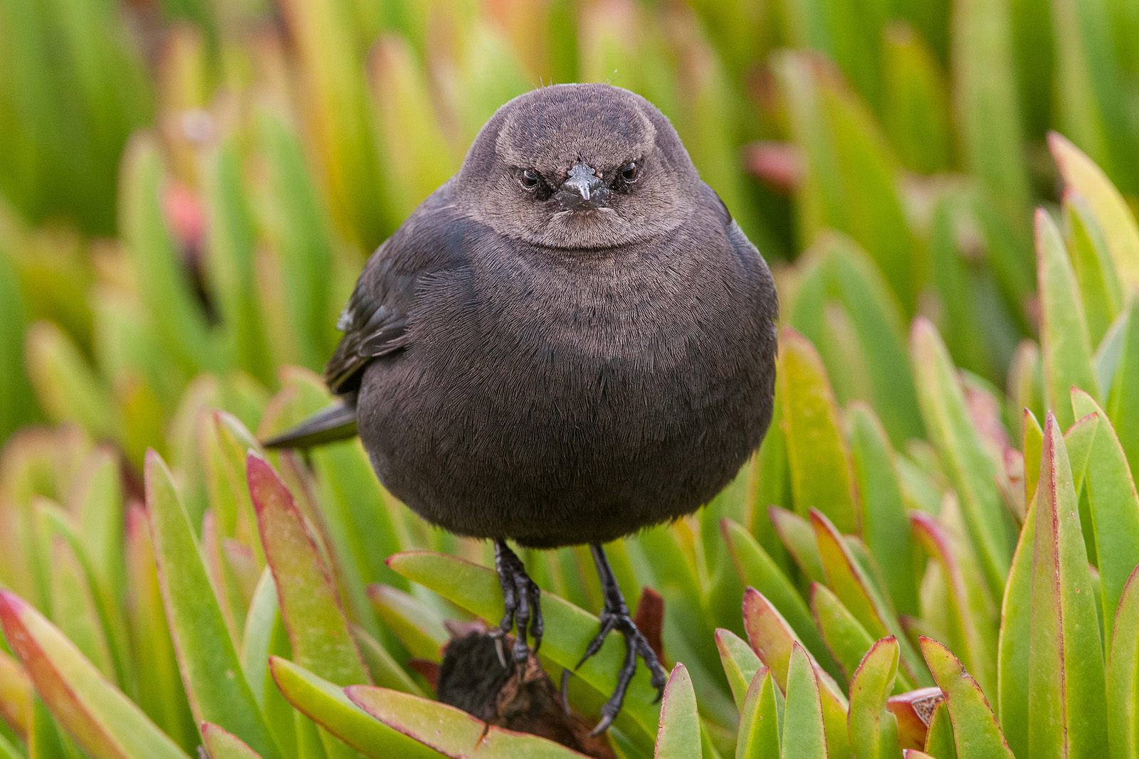 Brewer's Blackbird, Santa Cruz, California