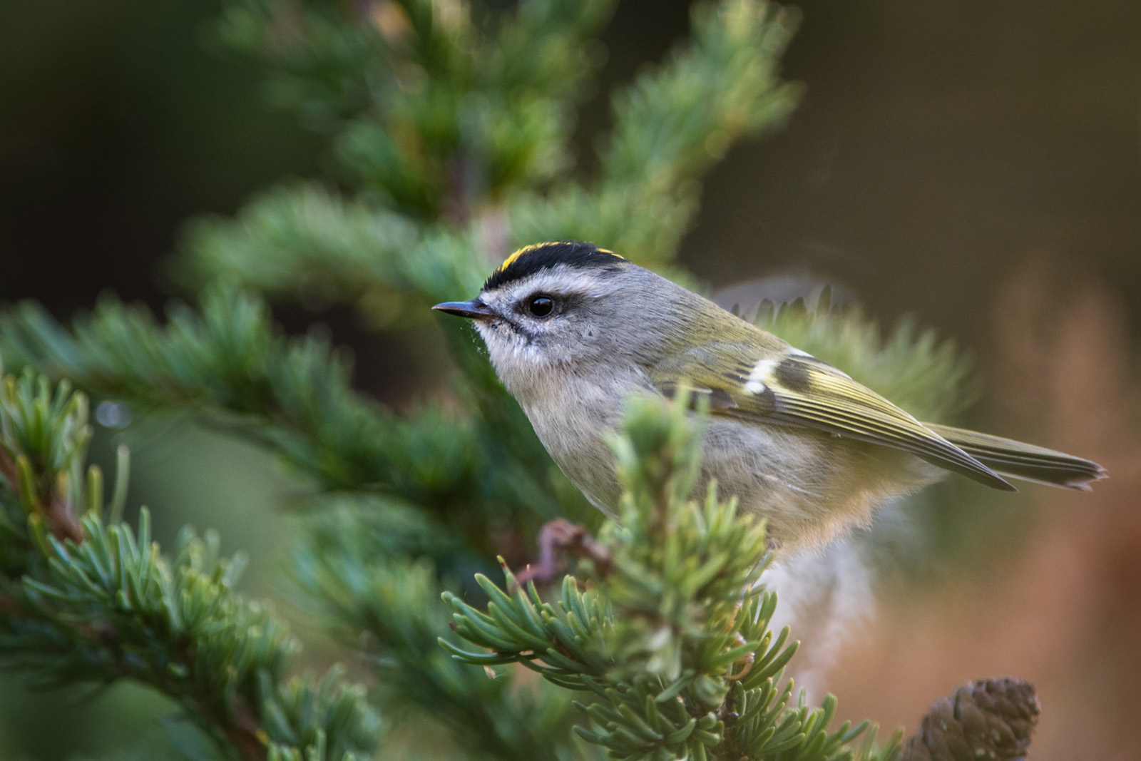 Golden Crowned Kinglet, Chugach State Park, Alaska