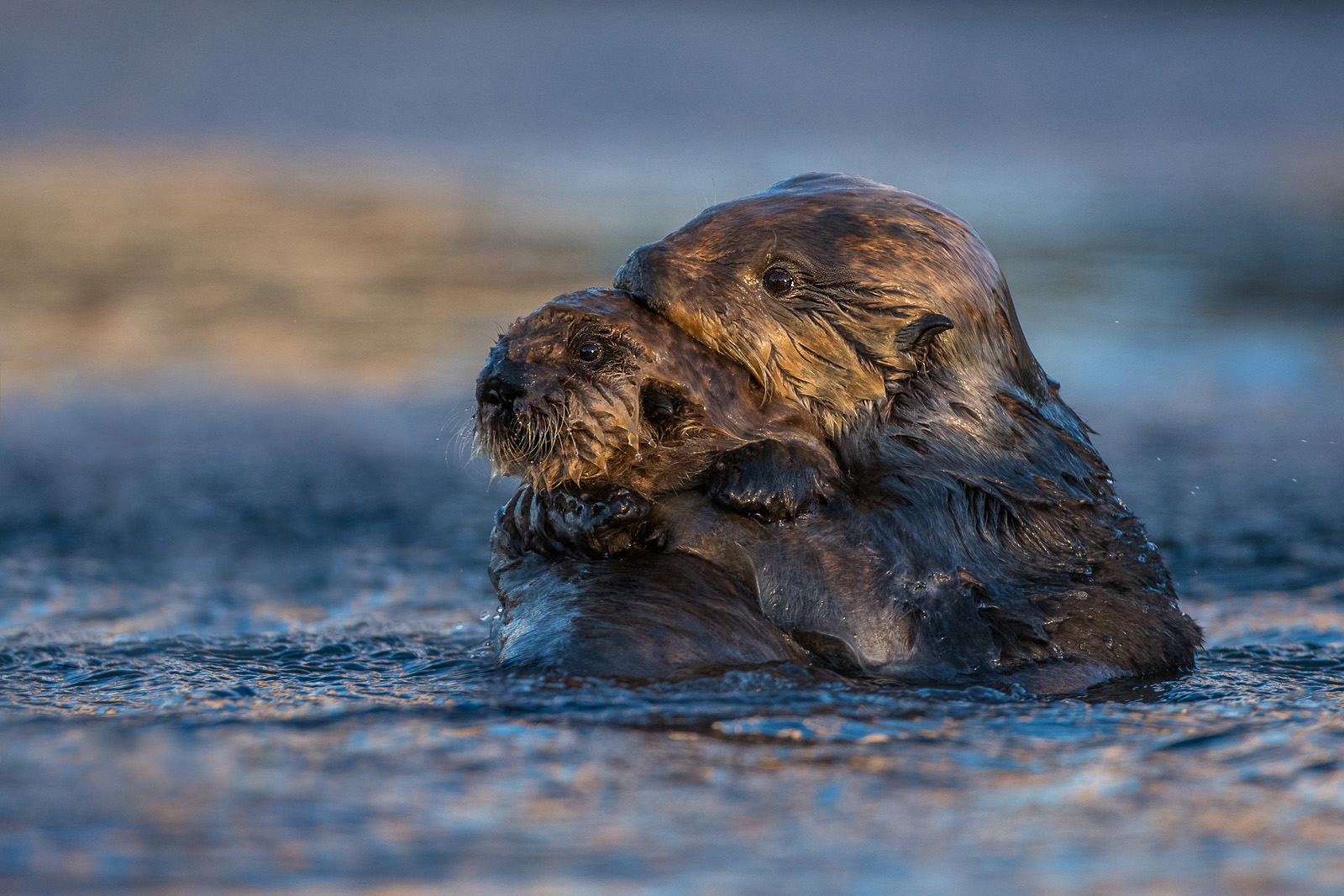 Sea Otter Mother with Pup, Morro Bay, California