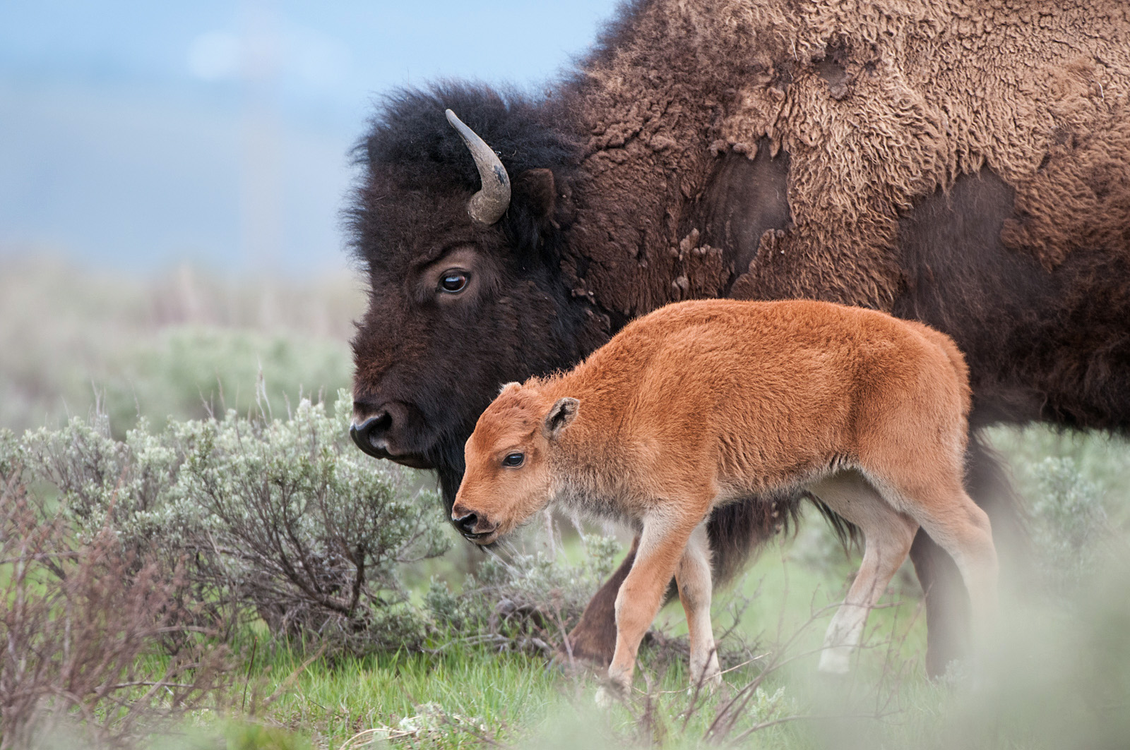 Bison Mother and Calf, Yellowstone National Park, Wyoming