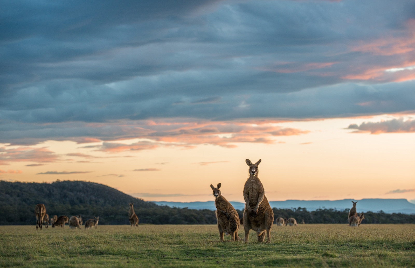 Eastern grey kangaroos (Macropus giganteus), known locally as a foresters, beneath a colorful sky in the opn grasslands of Narawantapu National Park in Tasmania, Australia.