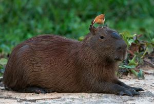 Capybara and Pale Legged Hornero