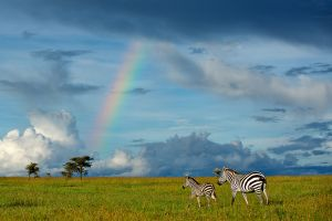 Zebra and Rainbow